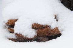 Μανιτάρια Flammulina velutipes το χειμώνα Στοκ Φωτογραφία