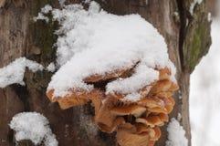Μανιτάρια Flammulina velutipes το χειμώνα Στοκ Εικόνες