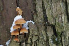 Μανιτάρια Flammulina velutipes το χειμώνα Στοκ εικόνες με δικαίωμα ελεύθερης χρήσης