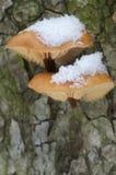 Μανιτάρια Flammulina velutipes το χειμώνα Στοκ Φωτογραφίες