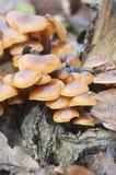 Μανιτάρια Flammulina velutipes Στοκ Εικόνα