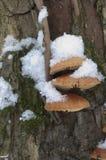 Μανιτάρια Flammulina velutipes Στοκ Φωτογραφία