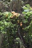 Μανιτάρια Flammulina velutipes Στοκ εικόνα με δικαίωμα ελεύθερης χρήσης