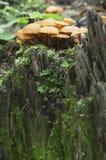 Μανιτάρια Flammulina velutipes Στοκ Εικόνες