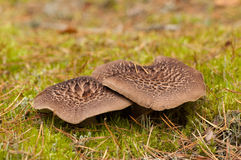Μανιτάρια imbricatus Sarcodon Στοκ Εικόνες