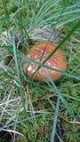 Μανιτάρια, svamp Στοκ Φωτογραφίες