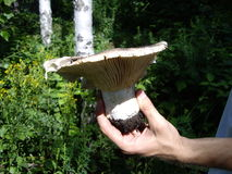 Μανιτάρι γάλακτος και χέρι του mushroomer στο ρωσικό χαρακτηριστικό δάσος Στοκ εικόνα με δικαίωμα ελεύθερης χρήσης