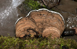 Μανιτάρι δέντρων υποστηριγμάτων καλλιτεχνών Στοκ Φωτογραφία