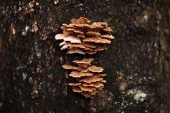 Μανιτάρι κοινοτήτων Schizophyllum στο δέντρο Στοκ Φωτογραφίες