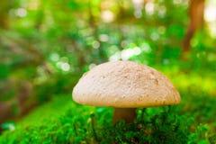 Μανιτάρι, μη φαγώσιμο toadstool Στοκ Εικόνες