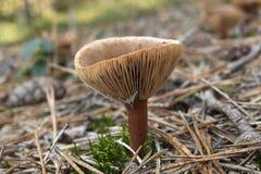 Καφετί μανιτάρι στο δάσος στο φθινόπωρο Στοκ φωτογραφία με δικαίωμα ελεύθερης χρήσης