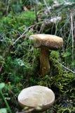 Μανιτάρι στο δάσος Στοκ φωτογραφία με δικαίωμα ελεύθερης χρήσης