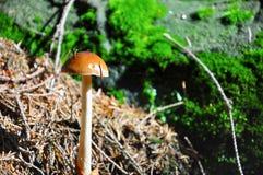 Μανιτάρι στο δάσος Στοκ εικόνες με δικαίωμα ελεύθερης χρήσης