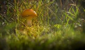Μανιτάρι στο δάσος Στοκ Φωτογραφία