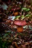Μανιτάρι στο δάσος Στοκ Εικόνα