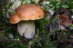 Μανιτάρι στο δάσος στοκ εικόνα με δικαίωμα ελεύθερης χρήσης