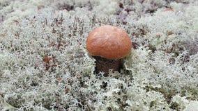 Μανιτάρι στο άσπρο βρύο στο βόρειο δάσος φθινοπώρου Στοκ φωτογραφία με δικαίωμα ελεύθερης χρήσης