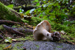 Μανιτάρι στο βράχο Στοκ Φωτογραφίες