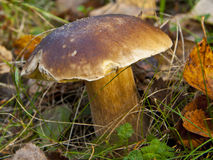 Μανιτάρι στο δάσος, Cepe Στοκ φωτογραφία με δικαίωμα ελεύθερης χρήσης