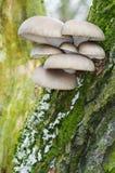 Μανιτάρι στρειδιών Στοκ φωτογραφία με δικαίωμα ελεύθερης χρήσης