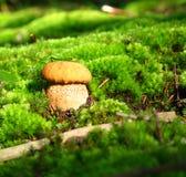 μανιτάρι φθινοπώρου Στοκ φωτογραφίες με δικαίωμα ελεύθερης χρήσης