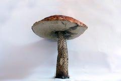 Μανιτάρι Στοκ εικόνα με δικαίωμα ελεύθερης χρήσης