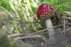 Μανιτάρι, amanita, φθινόπωρο, δηλητηριώδης, κόκκινος, τοξικός, δασικό, πορτοκάλι Στοκ φωτογραφίες με δικαίωμα ελεύθερης χρήσης