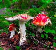 Μανιτάρι, Amanita Στοκ φωτογραφίες με δικαίωμα ελεύθερης χρήσης