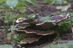 Μανιτάρι applanatum Ganoderma Στοκ Φωτογραφίες