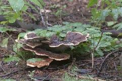 Μανιτάρι applanatum Ganoderma Στοκ Εικόνες