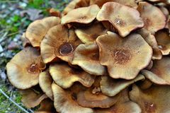 Μανιτάρι Armillaria tabescens Στοκ Εικόνα
