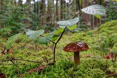 Μανιτάρι Bolete κόλπων στο δάσος Στοκ Φωτογραφία