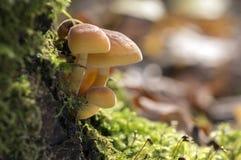 Μανιτάρι Flammulina velutipes στον ξύλινο θάμνο στο πράσινο βρύο Στοκ Εικόνες
