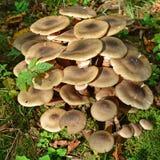Μανιτάρι mellea Armillaria Στοκ Εικόνα
