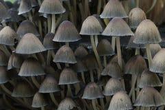 Μανιτάρι micaceus Coprinus Στοκ φωτογραφίες με δικαίωμα ελεύθερης χρήσης