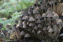 Μανιτάρι micaceus Coprinus Στοκ εικόνα με δικαίωμα ελεύθερης χρήσης