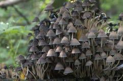Μανιτάρι micaceus Coprinus Στοκ Φωτογραφίες