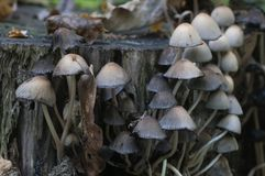 Μανιτάρι micaceus Coprinus Στοκ Φωτογραφία
