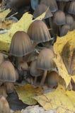 Μανιτάρι micaceus Coprinus Στοκ εικόνες με δικαίωμα ελεύθερης χρήσης