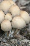 Μανιτάρι micaceus Coprinus Στοκ φωτογραφία με δικαίωμα ελεύθερης χρήσης