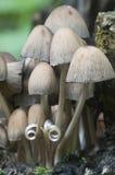 Μανιτάρι micaceus Coprinus Στοκ Εικόνες