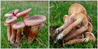 Μανιτάρι ostoyae Armillaria Στοκ Φωτογραφίες