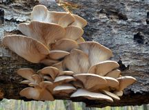 Μανιτάρι ostreatus Pleurotus Στοκ Εικόνες