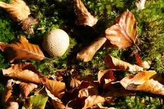 Μανιτάρι Puffball και νεκρά φύλλα Στοκ Φωτογραφίες