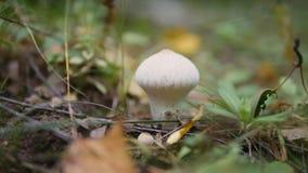 Μανιτάρι Puffball στο δάσος φθινοπώρου απόθεμα βίντεο