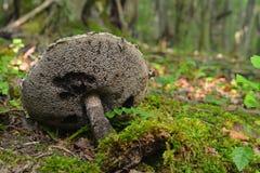 Μανιτάρι strobilaceus Stromilomyces Στοκ Εικόνες