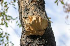 Μανιτάρι sulphureus Laetiporus στον ξύλινο κορμό prunus στον καφετή φλοιό, συστάδα των όμορφων κίτρινων νόστιμων μανιταριών στον  στοκ φωτογραφία με δικαίωμα ελεύθερης χρήσης