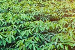 Μανιόκα στον κήπο στοκ εικόνες