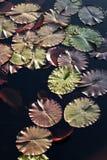Μαξιλάρια κρίνων νερού στην ηλιοφάνεια στοκ εικόνες