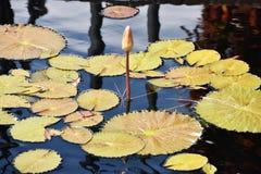 Μαξιλάρια κρίνων στη λίμνη Στοκ Εικόνα